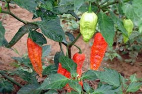 What is a ghost chili? It's a hotter than hot pepper grown in Thailand. Learn just how hot this ghost chili is here!